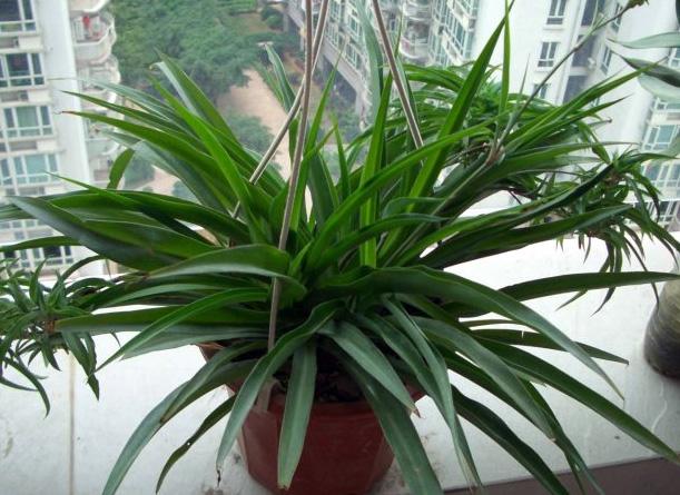 防辐射植物吊兰