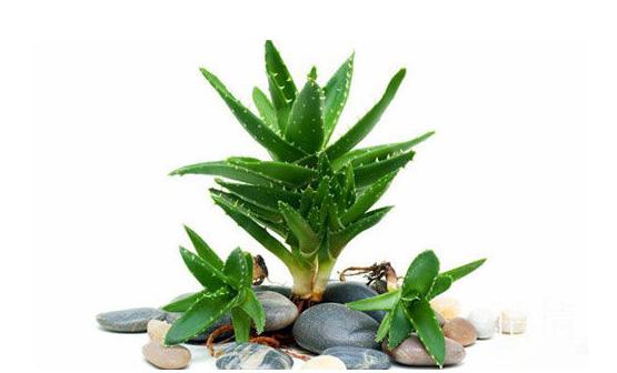 防辐射植物芦荟