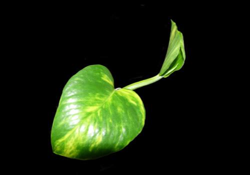 绿萝效果图