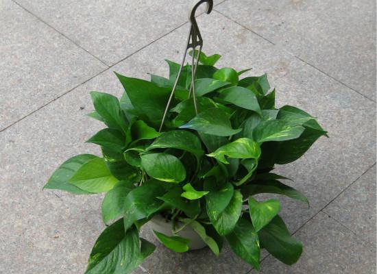 植物大战甲醛