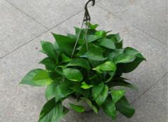 植物大战甲醛,让健康住进你家