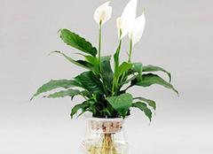 水培植物是神马 它的养护方法是什么