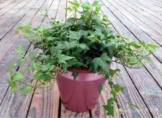 室内净化空气植物