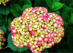 你造绣球花的养殖方法么?