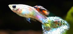 孔雀鱼的品种分类,你都认识么?