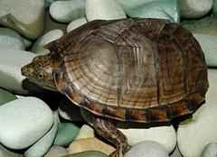乌龟吃什么食物?乌龟食物解析!