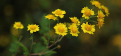 野菊花的功效与作用及食用方法有哪些?