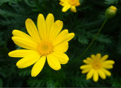 你知道黄菊花的作用有哪些么?