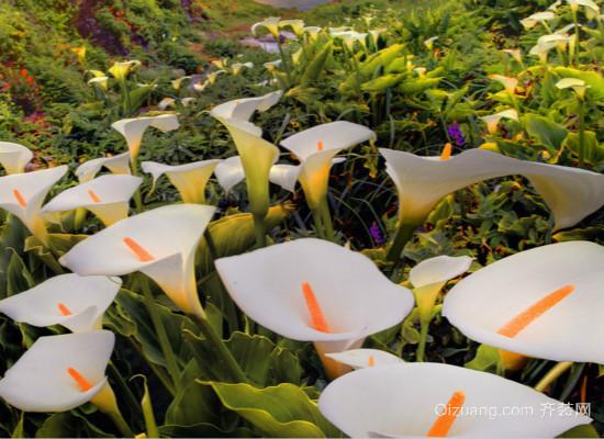 马蹄莲的养殖方法