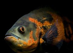 地图鱼常见病的症状和治疗