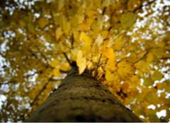 关于法国梧桐树的资料,你都认识么?