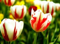 你知道郁金香的花语是什么吗?