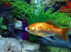 金鱼怎么养才会更健康?