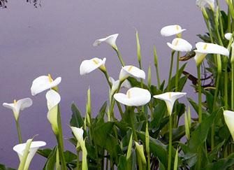 不同颜色的马蹄莲花花语也不同嘛