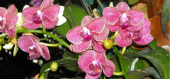 那些比较漂亮的蝴蝶兰图片,你都见过没?