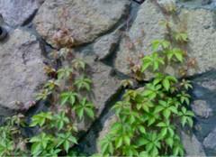 爬山虎种植的窍门,你都知道么?