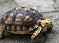 你知道该怎么饲养巴西彩龟么?