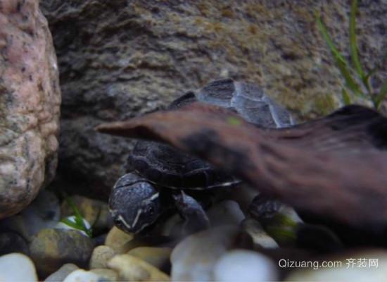 巴西彩龟效果图