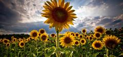 关于向日葵的花语,你都知道么?