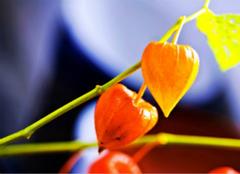 你知道红菇娘的功效与作用有哪些么?