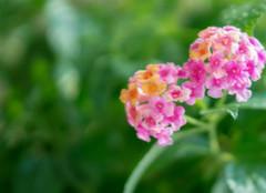 五色梅花的养殖技巧,你记住了么?