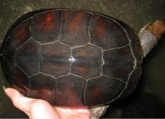 越南石龟的养殖方法,你都清楚么?