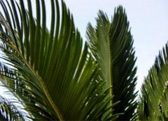 铁树叶的功效与作用有哪些?