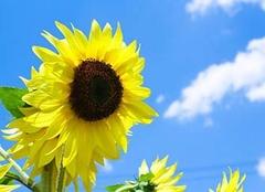 向日葵花语是什么,有什么象征意义?