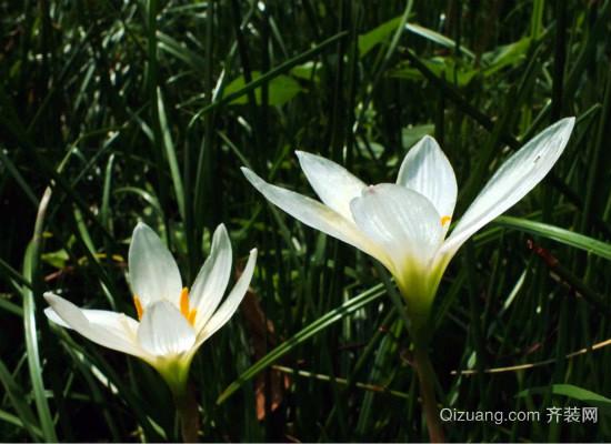 白花葱兰效果图