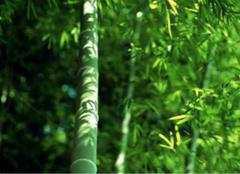翠竹的象征意义,你都了解么?