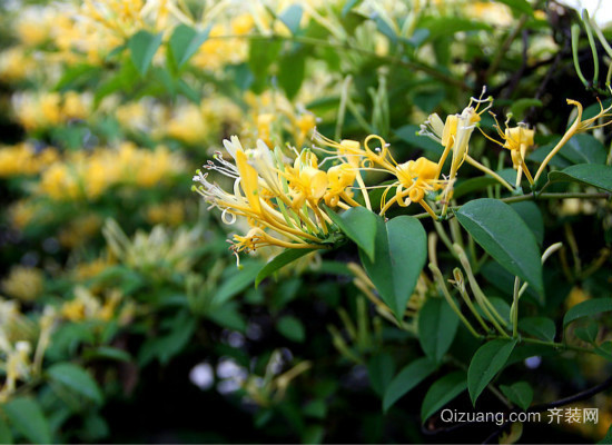 山银花与金银花的区别