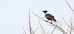 饲养白颈鸦的技巧有哪些?