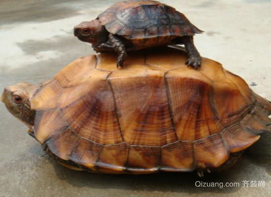 麒麟龟效果图
