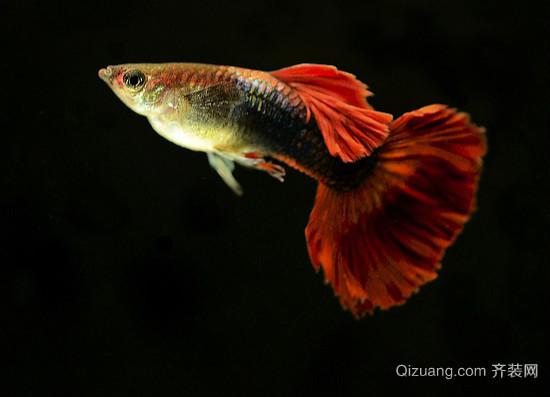 孔雀鱼图片