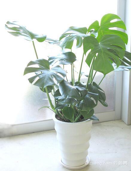 室内净化空气植物——龟背竹