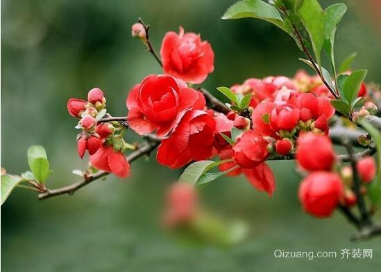 海棠花盛开美景图
