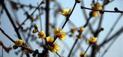 你见过最美的腊梅花图片么?