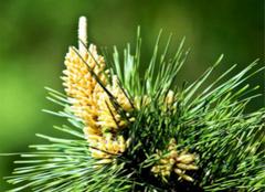 关于松花粉的吃法,你都造么?
