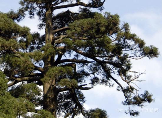 云杉树的特点