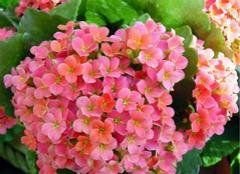 长寿花的养殖方法,你都了解么?