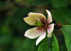 含笑花的种植妙招,你记住了么?