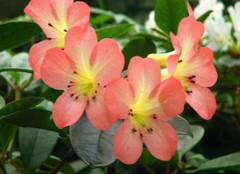 那些比较美的秋海棠图片,你都见过么?