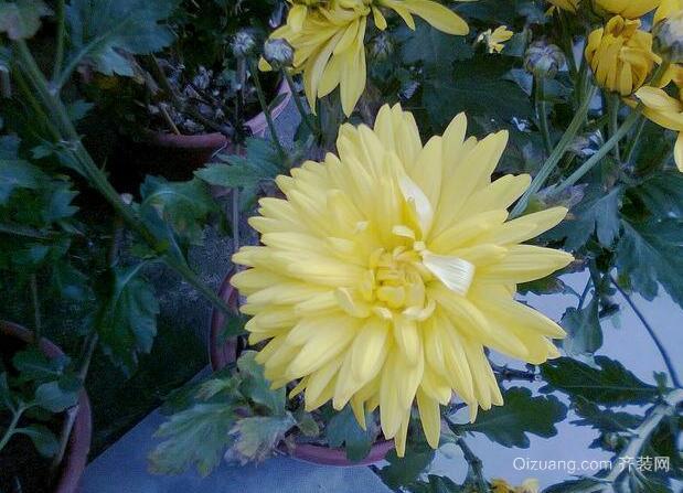黄菊花效果图