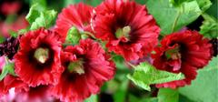 你知道蜀葵该怎么种植吗?