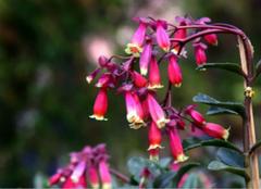 宫灯长寿花的养殖技巧,你都了解么?