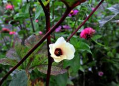 你知道该怎么区分红秋葵与黄秋葵吗?