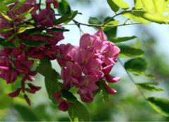 富贵树的养殖方法有哪些?