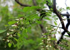 槐花树的品种,你都认识么?