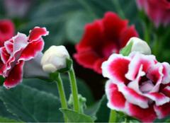 你知道富贵花应该怎么养吗?