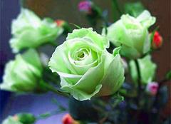 绿玫瑰的花语,你听过吗?